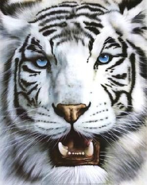 tigre blanc magnifique